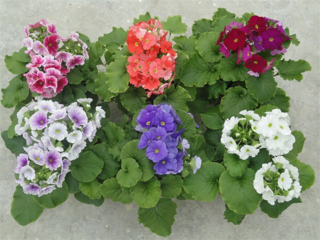Primula obconica - photo sourced from kamerplantenspecialist.nl