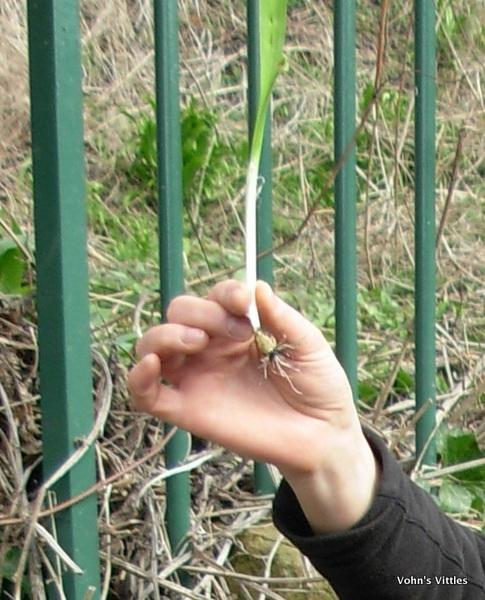 Few-flowered leek, Allium paradoxum