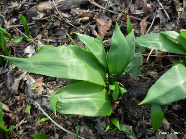 Wild Garlic Ransoms, Allium ursinum